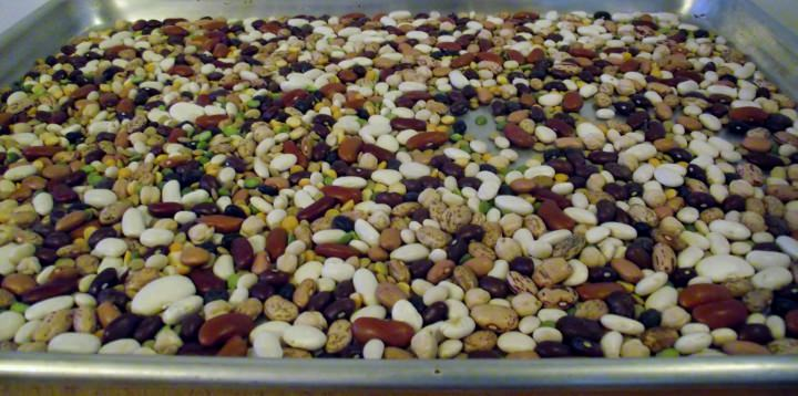 Beans on a sheet pan for sorting.
