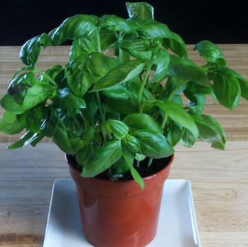 Potted sweet basil plant.