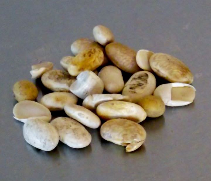 Damaged beans and debris from sorting the raw beans.